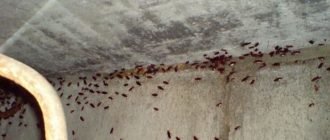 Как избавиться от подвальных блох