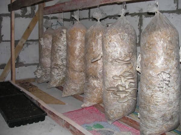 грибы вешанки