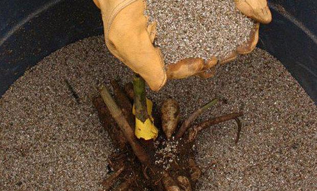 Хранение георгин в песке
