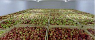 Как хранить яблоки в погребе