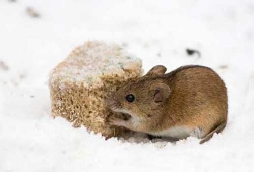 избавление от мышей