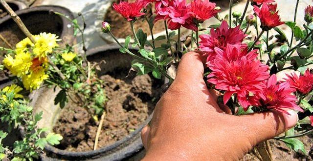 Как сохранить хризантемы зимой