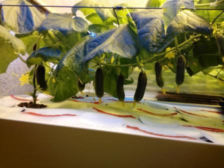 Плюсы выращивания огурцов в подвале