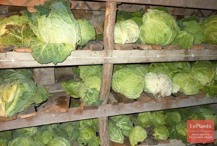 Условия для хранения капусты в погребе