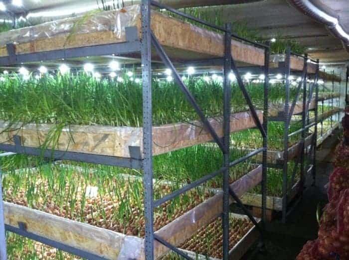 Выращивание зелени в подвале на продажу 60