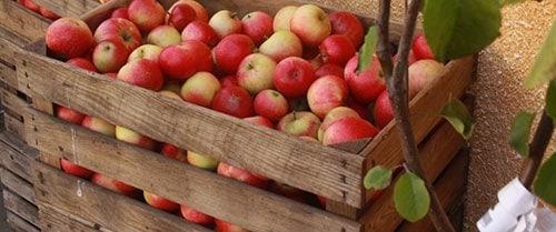 В чем хранить яблоки