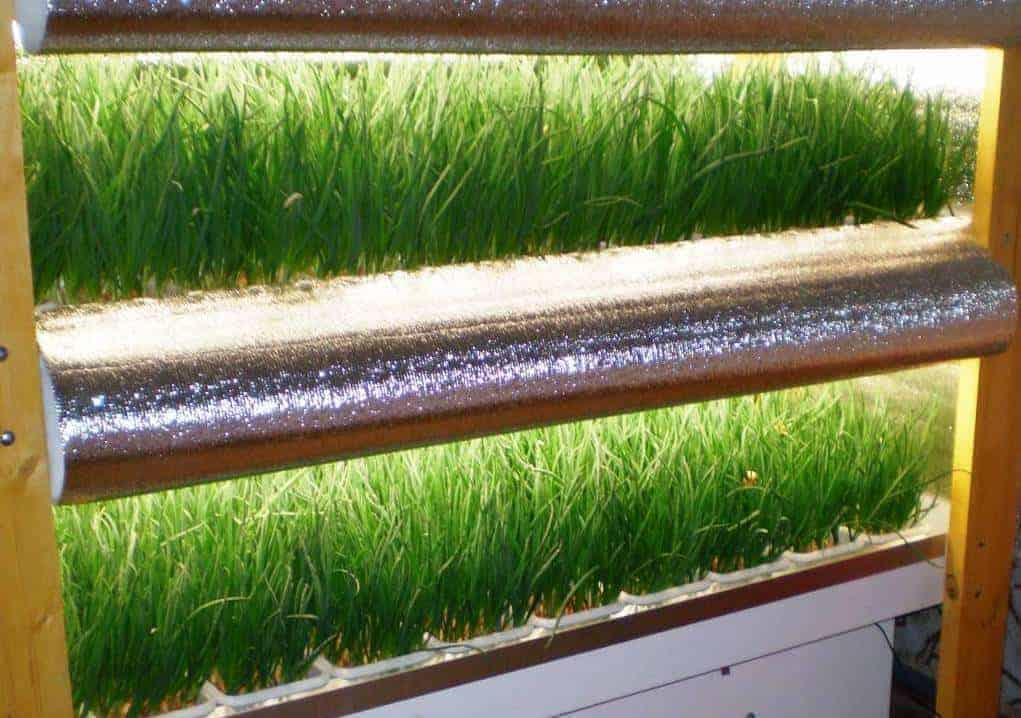 Выращивание лука и другой зелени в подвале на продажу