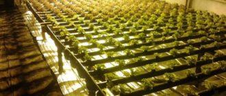 Как выращивать огурцы в подвале